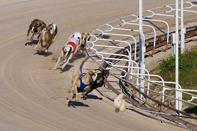 Two Trap Greyhound System greyhound racing