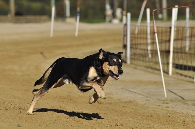 betting greyhound racing