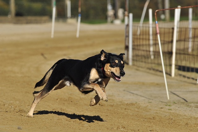 In Greyhound Racing, Don't Spread Yourself Thin